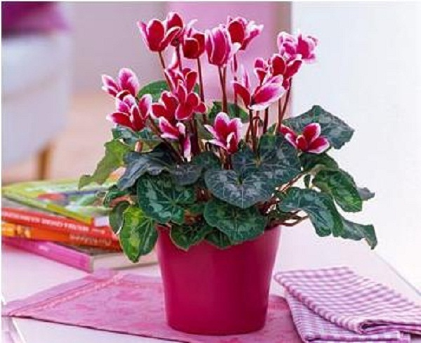http://www.supersadovnik.net/wp-content/uploads/2012/07/cyclamen.jpg